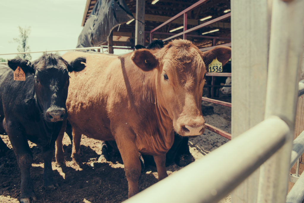 North Carolina Cattle Industry - Cows at Harward Sisters Farm